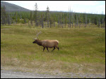 Yellowstone elk s