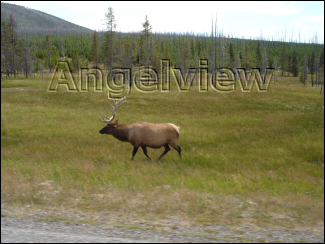 Yellowstone elk l